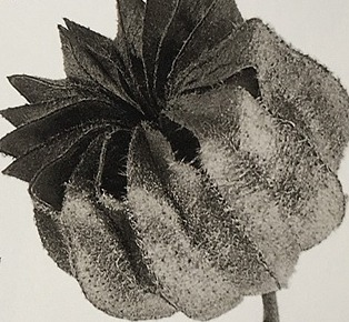 Karl Blossfeldt's anthological exhibition